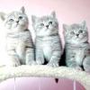 Чим годувати британського кошеня?