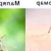 Чим відрізняється малярійний комар від звичайного