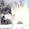 Чим відрізняється вовк від собаки