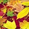 Як використовувати осіннє листя?