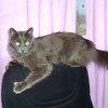 Як відучити кота / кішку точити кігті про меблі