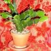 Як пересадити кімнатні квіти?