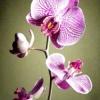 Як пересадити орхідею?