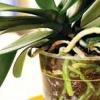 Як пересаджувати орхідею?