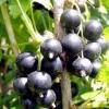 Як посадити чорну смородину?