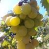 Як правильно посадити саджанець винограду?