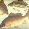 Як приготувати мариновану рибу?