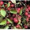 Як приготувати варення з райських яблук