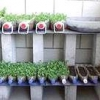 Як просто і швидко виростити розсаду?