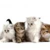 Як містити кішку в квартирі?