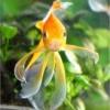 Як містити золотих рибок
