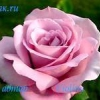 Як вибрати і підготувати місце для посадки троянд на дачній ділянці.