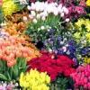 Як вирощувати садові квіти?