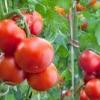 Як виростити міцну розсаду помідорів