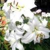 Як виростити садові лілії