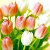 Як виростити тюльпани з цибулин до 8 березня?