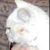Чому лисіє кішка?