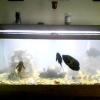 Чому каламутніє вода в акваріумі