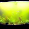 Чому зеленіє вода в акваріумі і як з цим боротися?