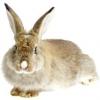 Скільки живуть кролики